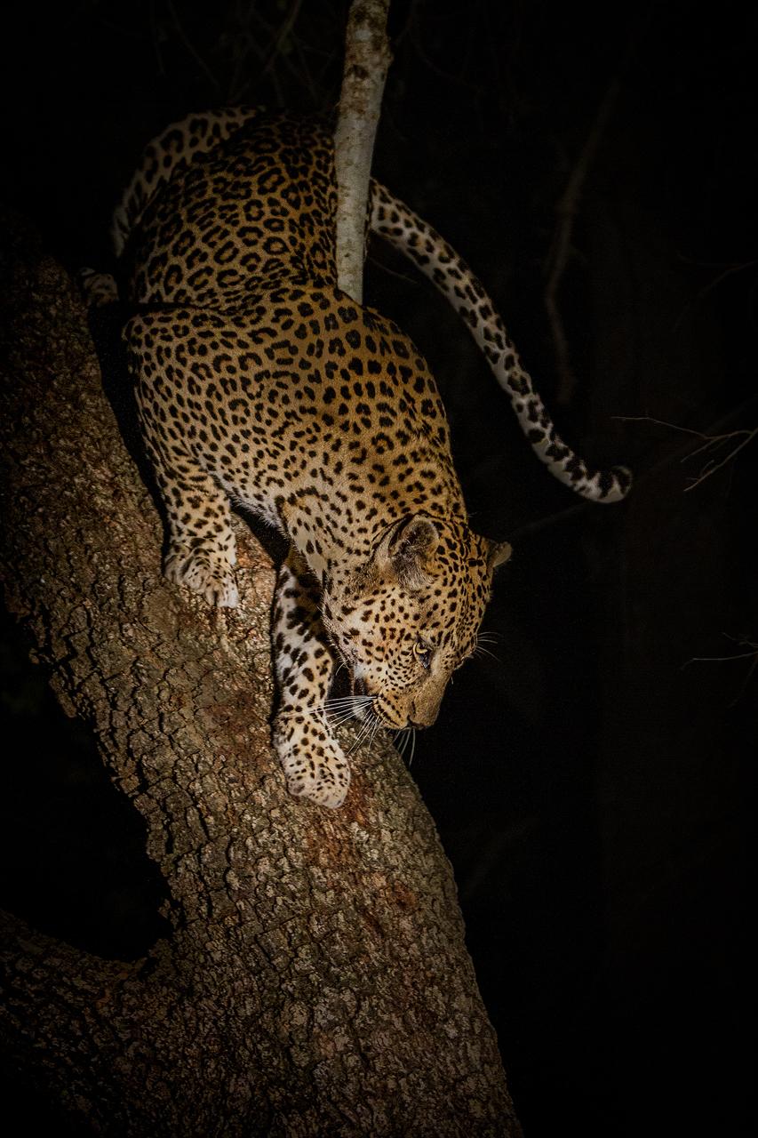 Leopard climbs down a tree at night