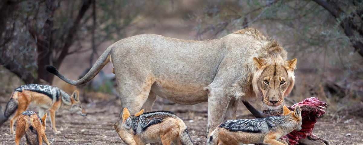 Lion chases jackals from kill