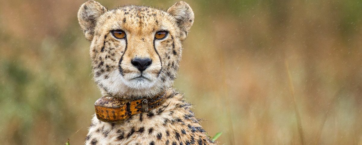 A cheetah with a tracking collar