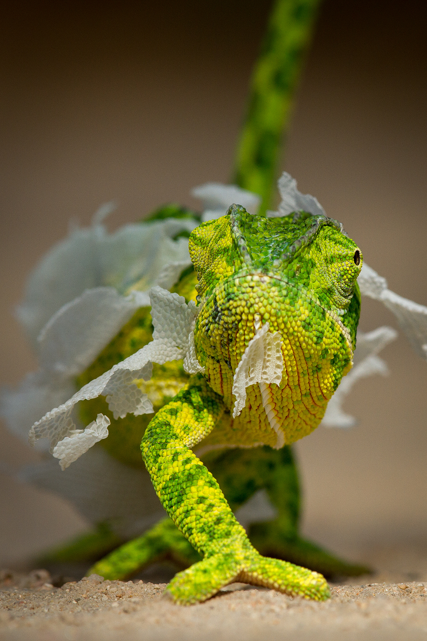 A chameleon looks at the camera
