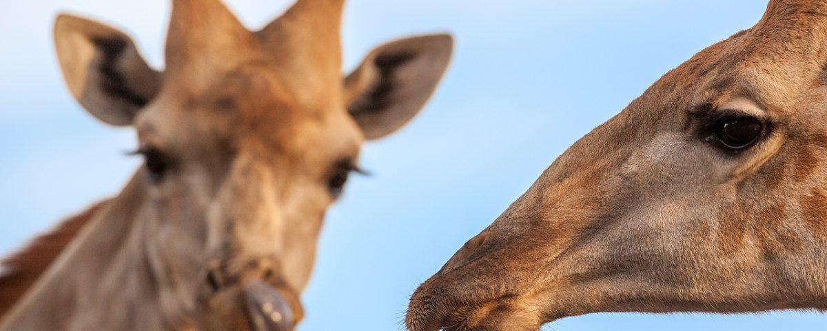 Close ups of two giraffe