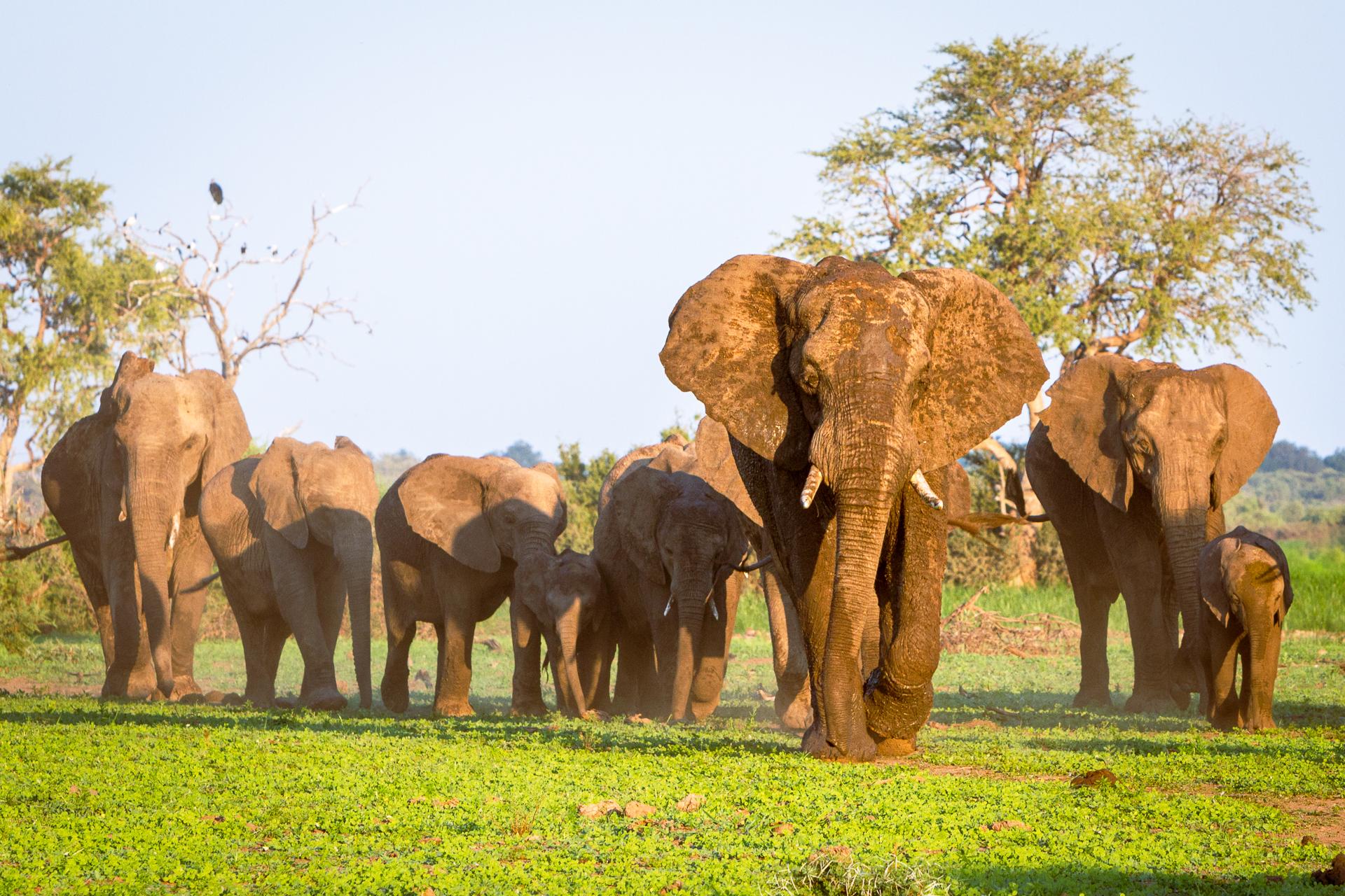 Herd of elephants walking across field of green grass