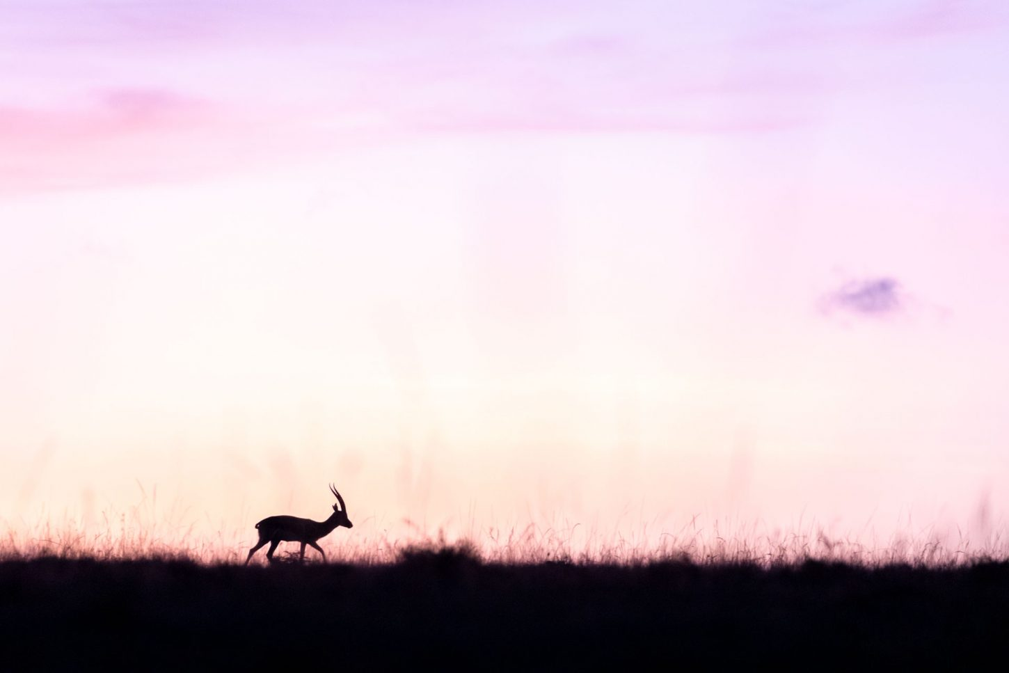 Silhouette of antelope against pink sky