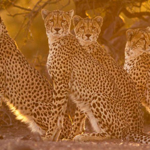 4 cheetahs sitting in golden light