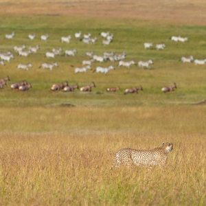 Cheetah walks in long grass with zebra in distance