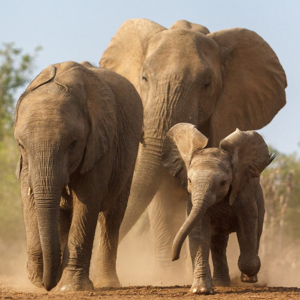 3 Elephants running head on