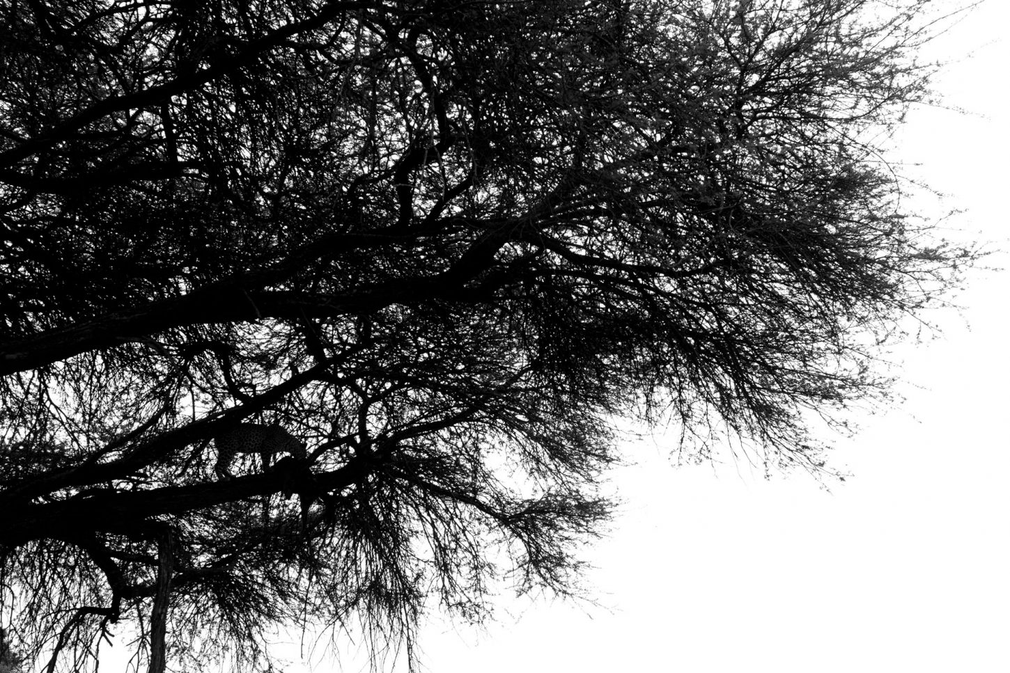 Silhouette of leopard in a tree in black and white