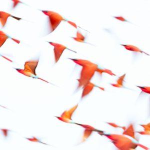 Flock of carmine bee eaters in flight