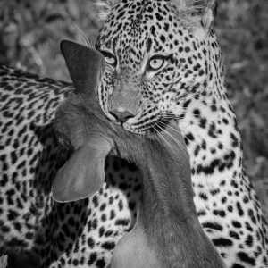 Leopard with antelope kill in its mouth