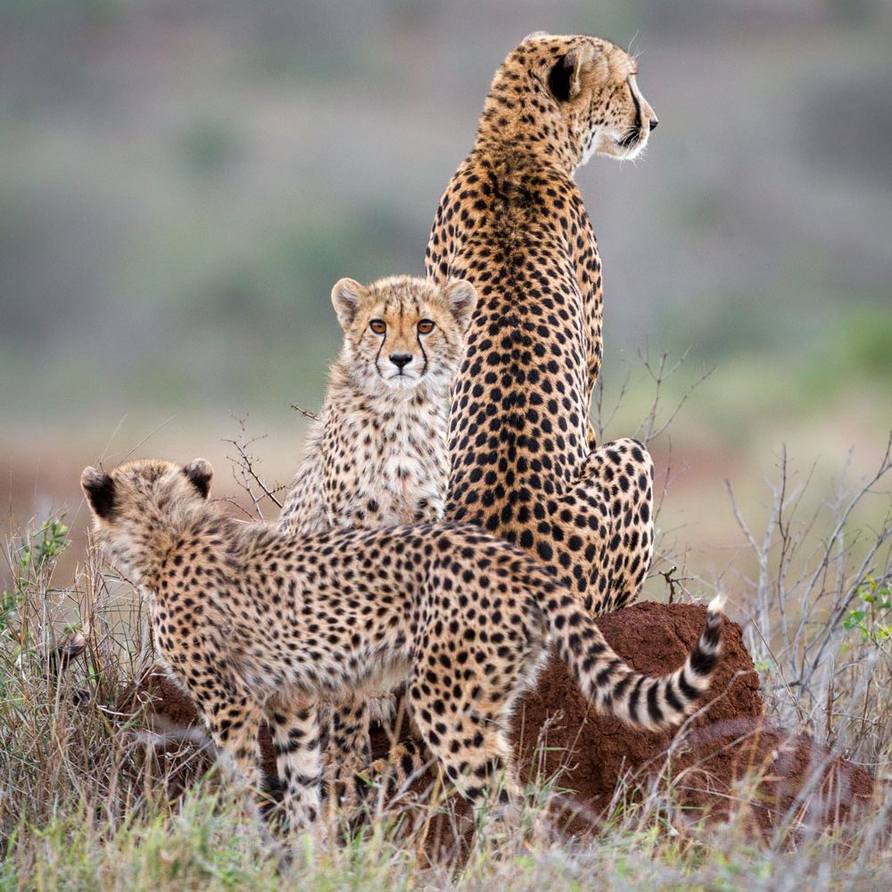 Mother cheetah and two cubs