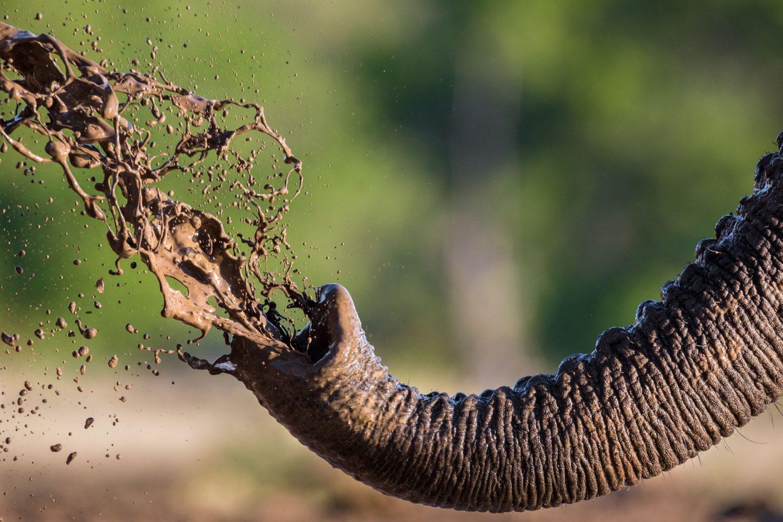 Mud sprays from an elephant's trunk