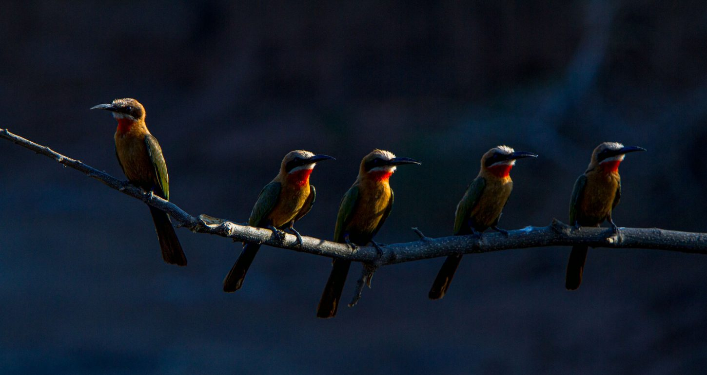5 white fronted bee eaters on a branch