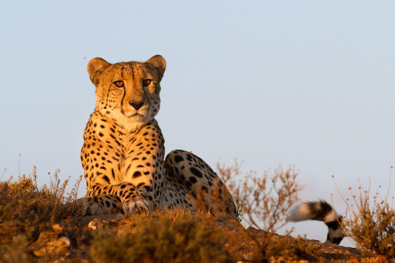 Cheetah lying down in golden light against blue sky