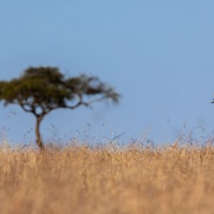 Crowned Crane walking in long grass with blue sky
