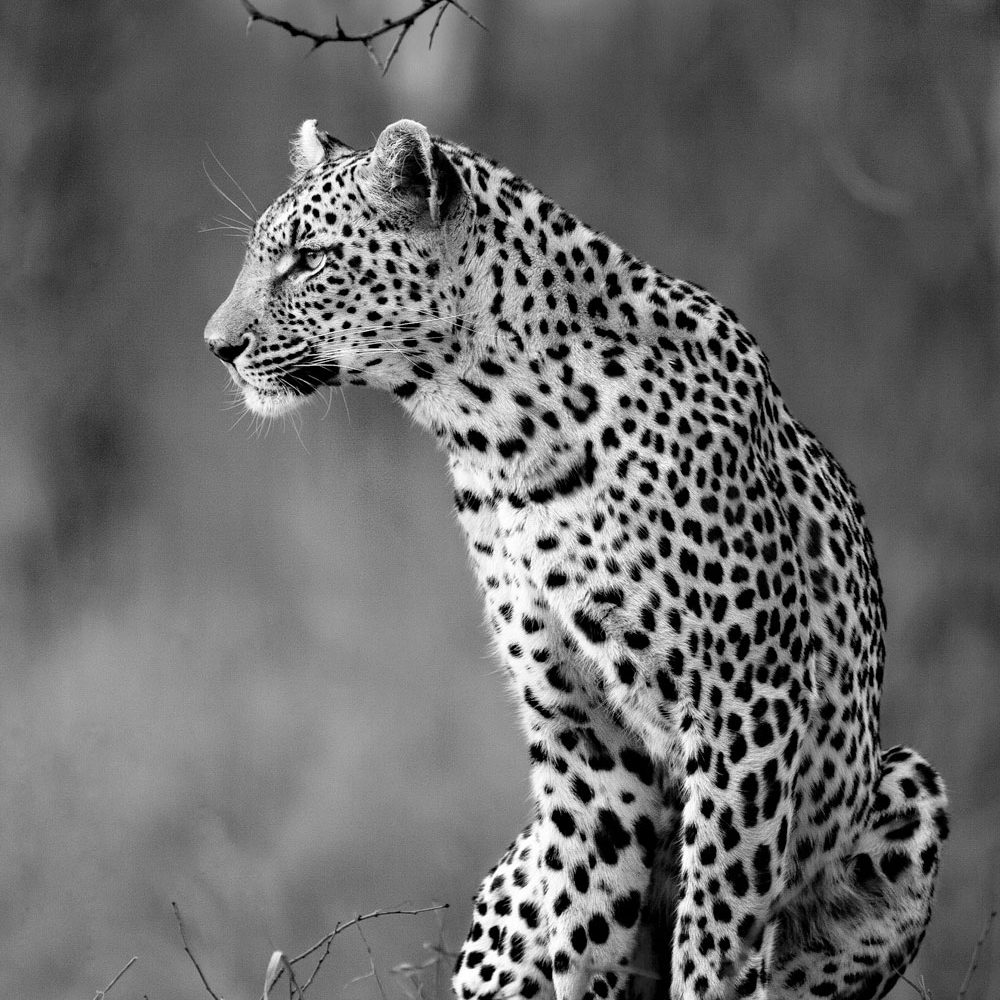 A leopard looking to the left in black and white