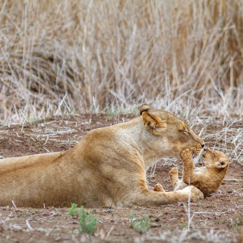 Lioness gives her cub a kiss