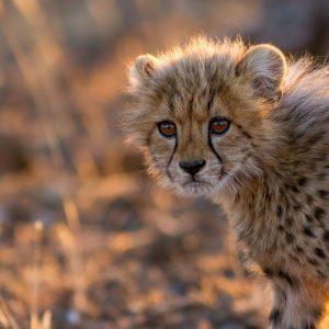 Portrait of a cute cheetah cub