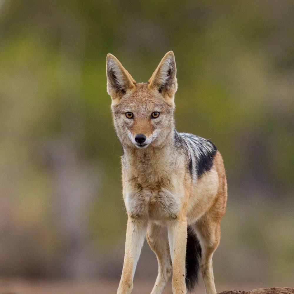 Portrait of a black backed jackal