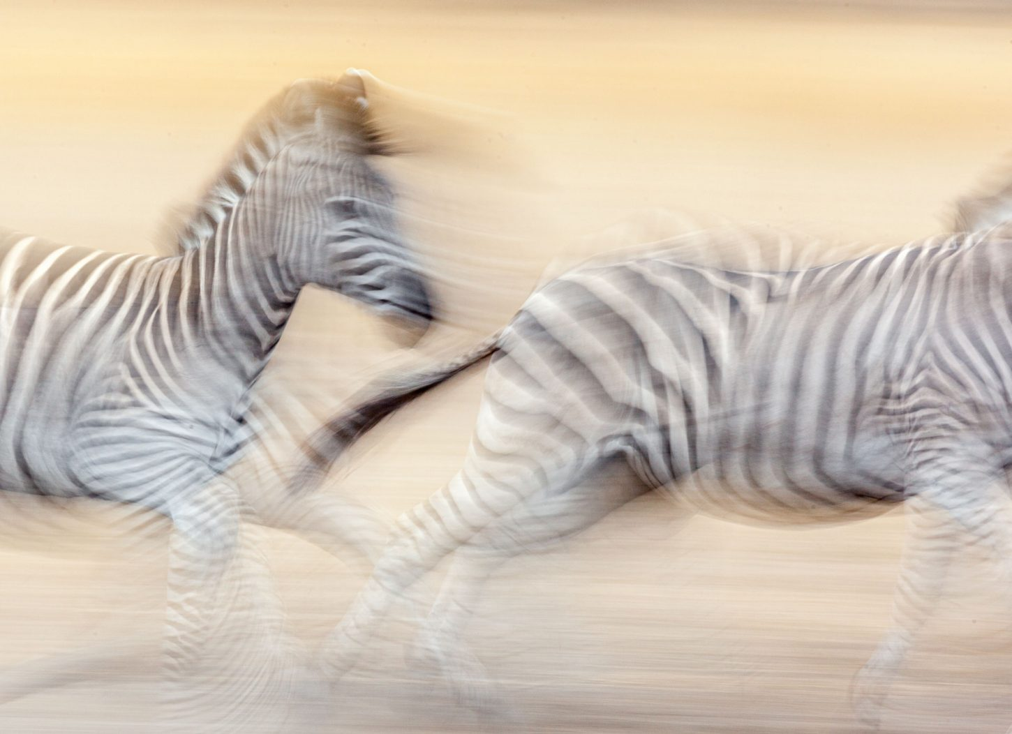 Zebras running, blurry with movement