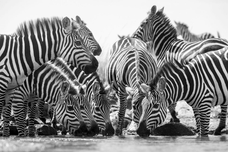 Herd of zebra drinking in black and white