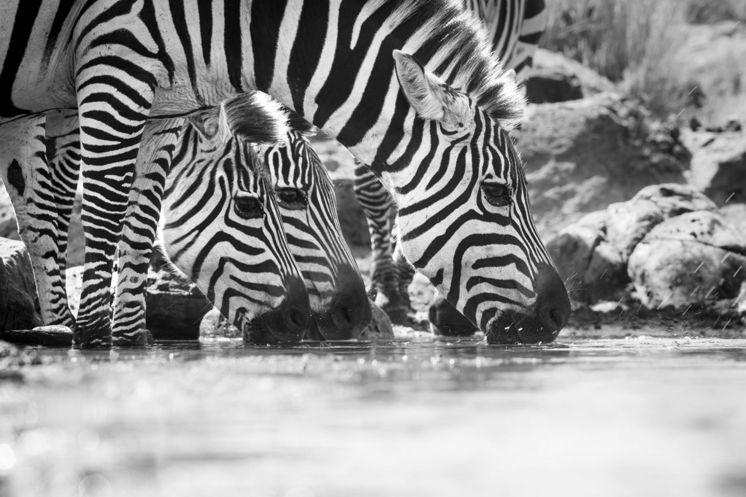 Close up of zebra drinking in black and white