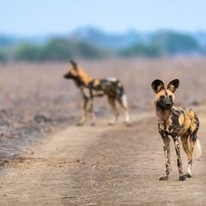 Two African wild dogs standing on a road