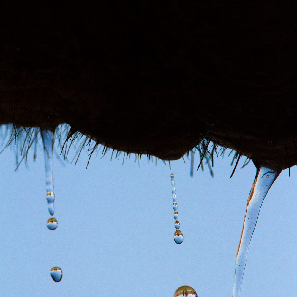 Water drips from an elephant's hairy chin