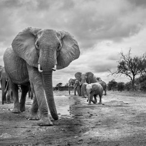 A big elephant walks towards the camera in black and white