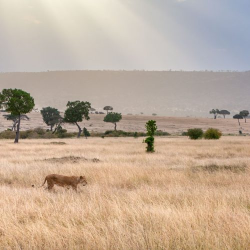 Lioness walking across grassy plain with sunbeams in distance