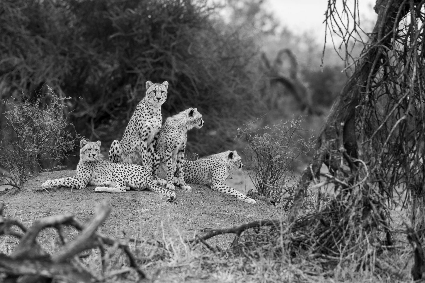 Mother cheetah and cubs sitting on termite mound