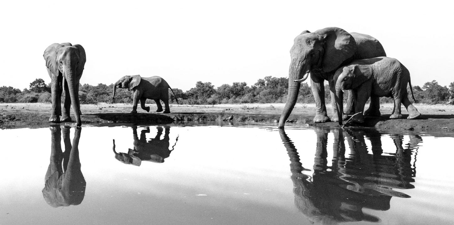 Reflection of elephant herd in black and white