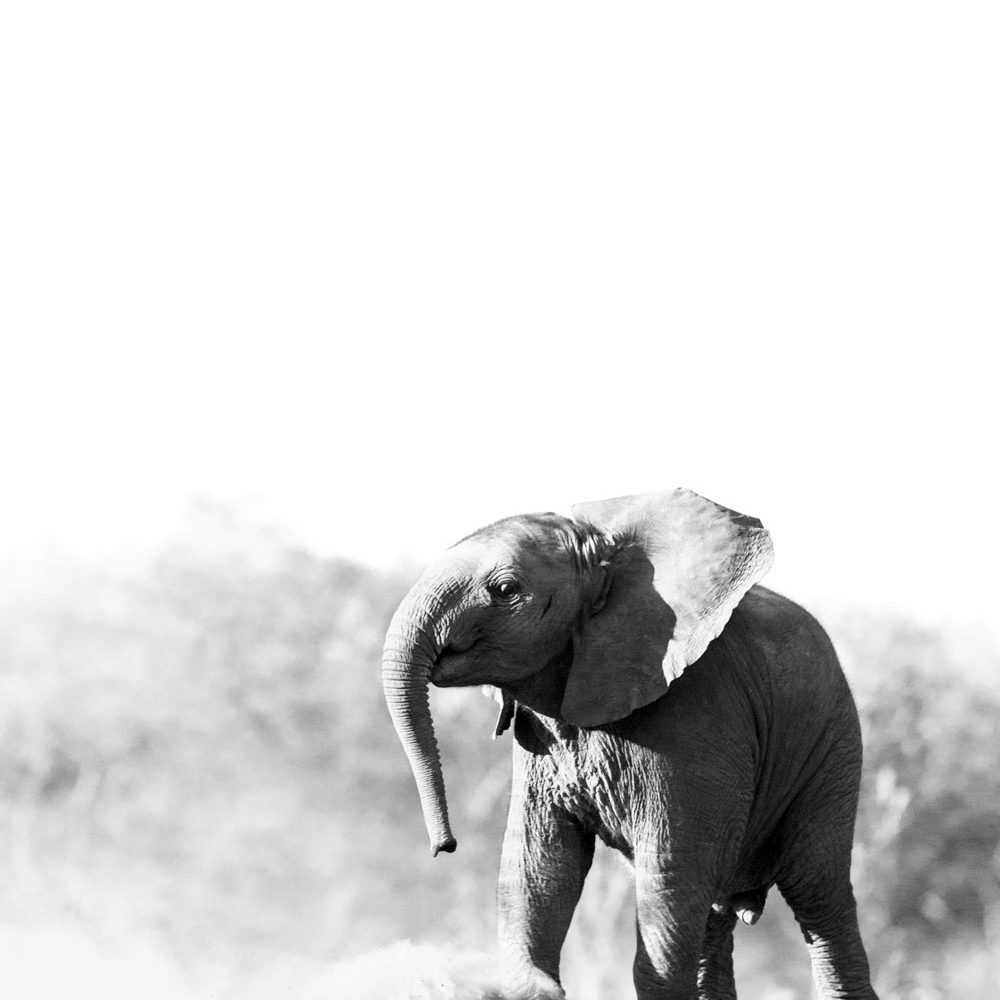 Elephant calf mock charging in black and white