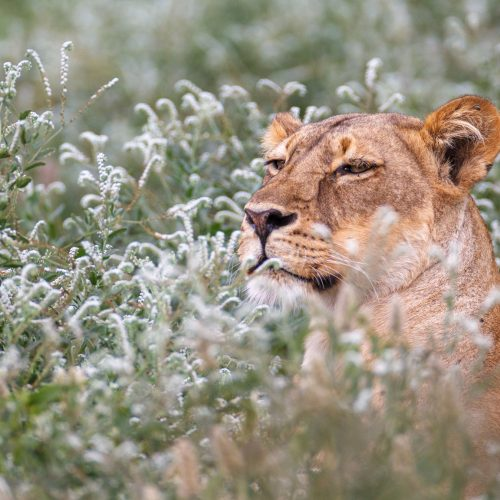 Lioness lying in amongst white flowers