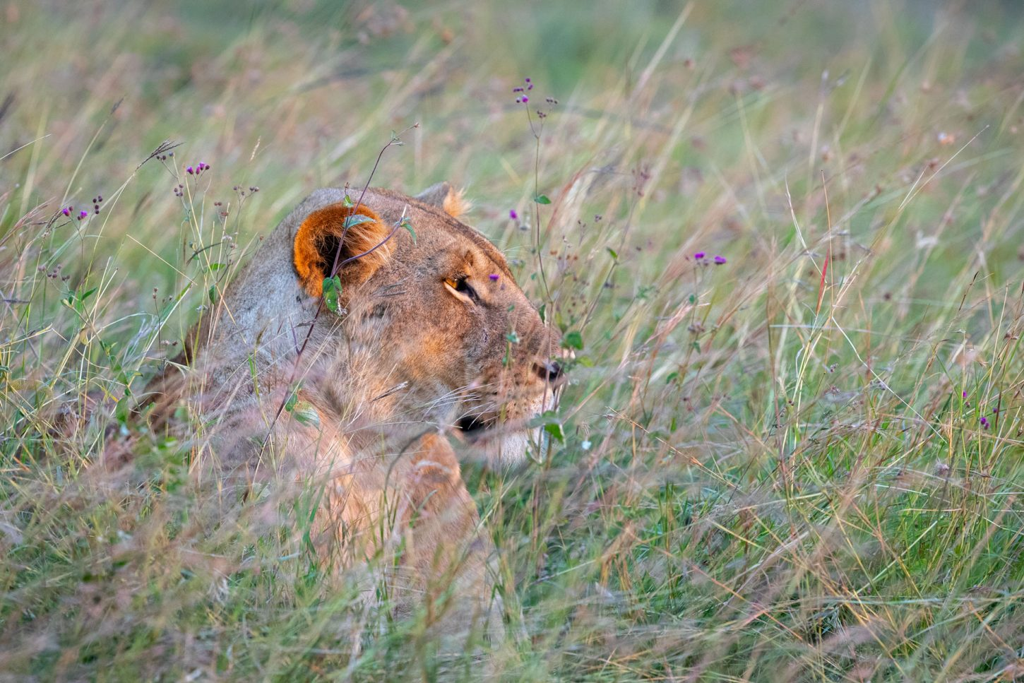 Lion lying in grass and purple flowers