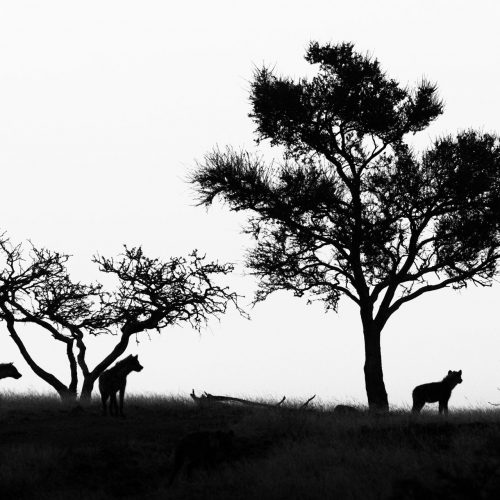 Silhouette of 3 hyenas and 3 trees in black and white