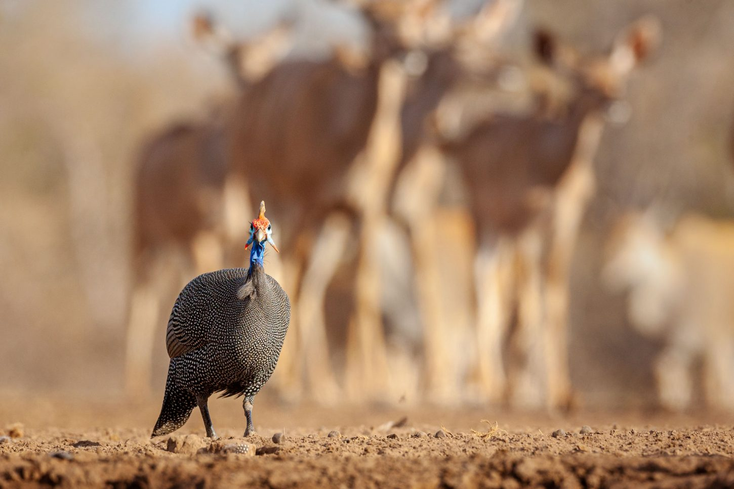 A guinea fowl with kudu in background