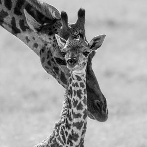 New born giraffe and mother in black and white