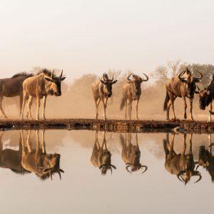Herd of wildebeest reflected in waterhole