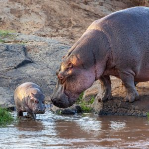 Hippo watches her baby walk into river