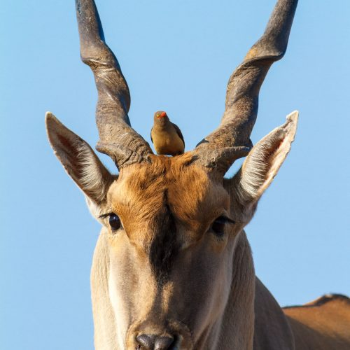 Eland with oxpecker between its horns