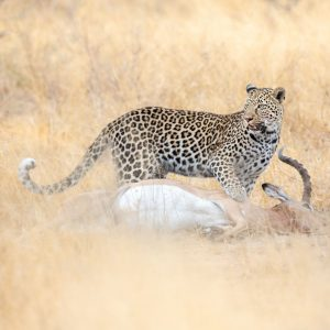 Leopard with kill in long grass
