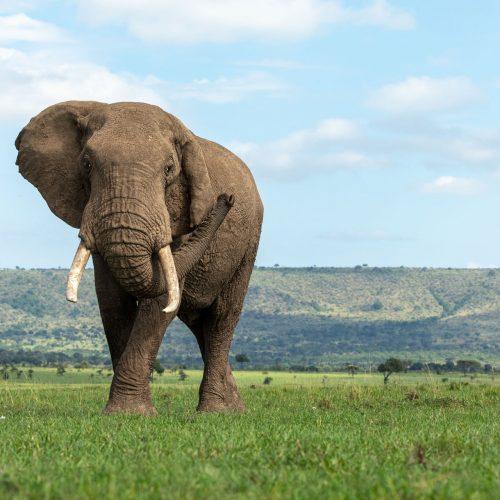 Elephant bull on grassy plain