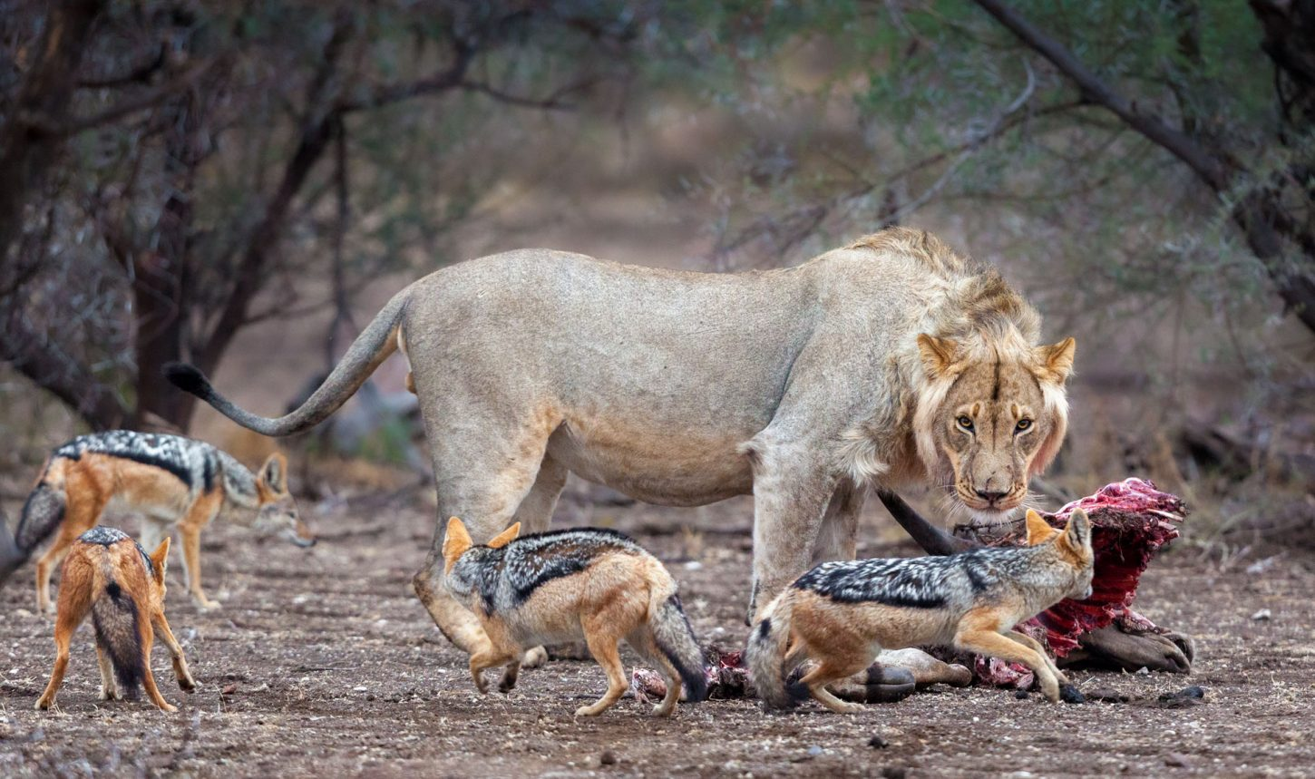 Lion with a kill stares at 3 jackals