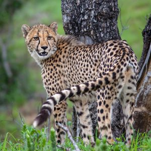 Cheetah looks back over its shoulder