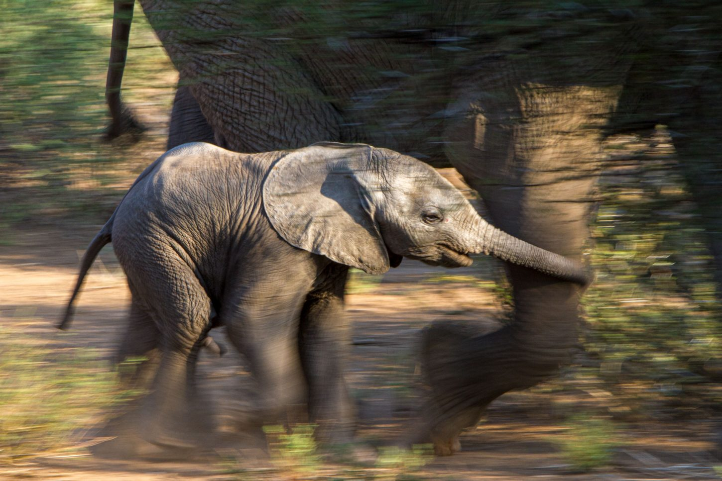 An elephant calf runs to keep up with its mother