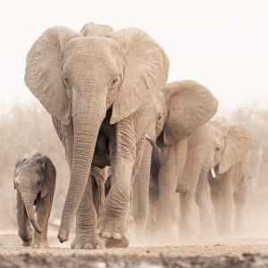 A herd of elephants walking in dust