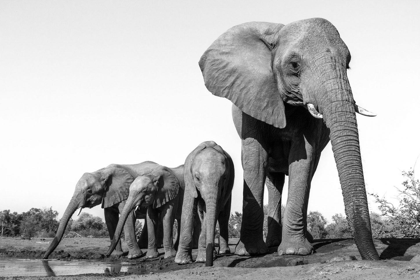 Herd of elephants at waterhole in black and white
