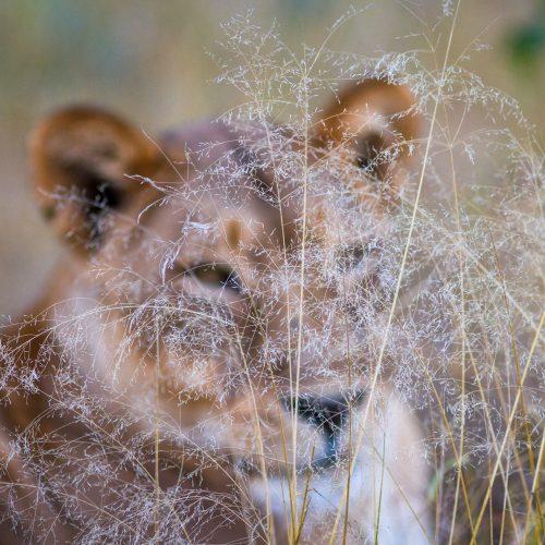 Lioness behind grass