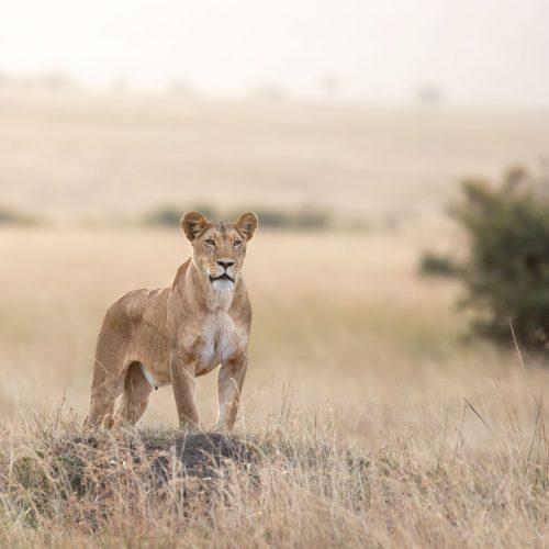 Lioness standing on termite mound