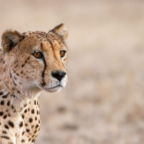 Cheetah with intense stare